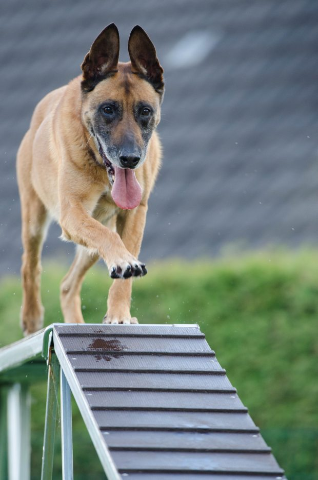 agility-animal-blur-260440