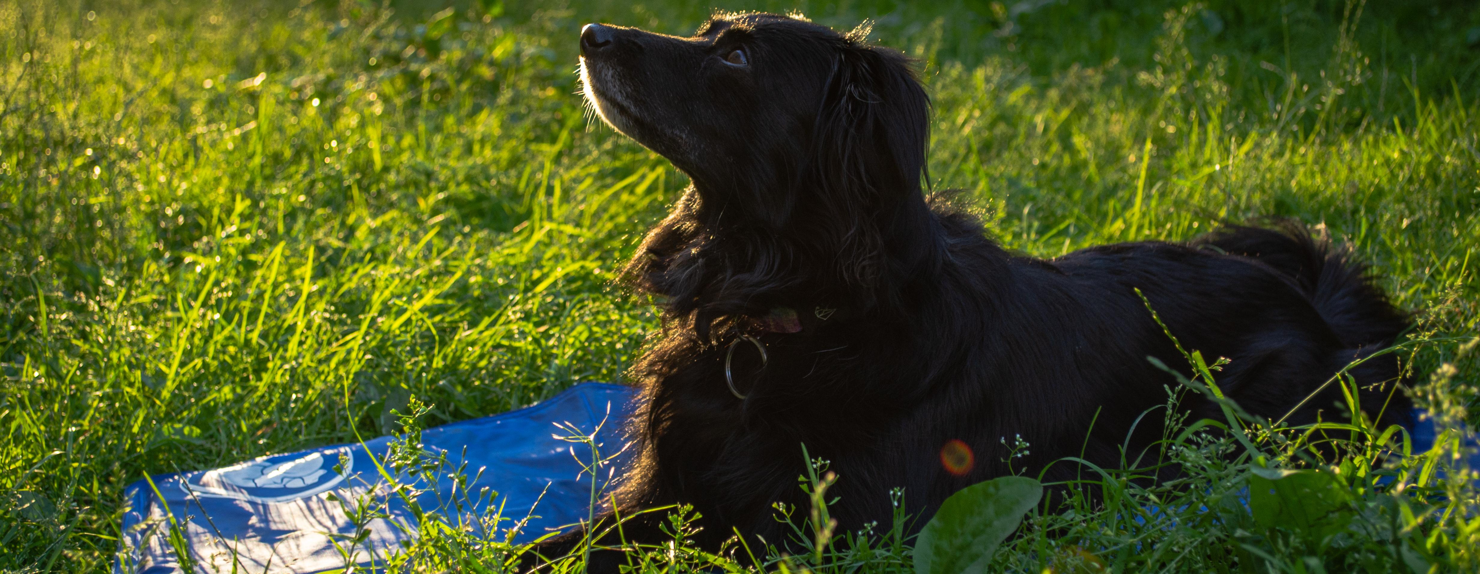 Jak bezpiecznie schłodzić psa w upał?